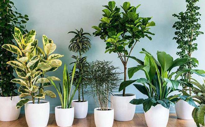 Phong thủy buôn may bán đắt cây xanh